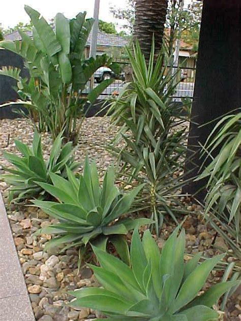 Yucca  Hello Hello Plants & Garden Supplies