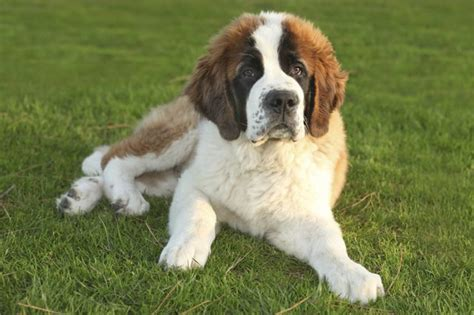 do st bernards shed which breeds coats cuteness