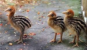 Cassowary Australian Birds Pictures
