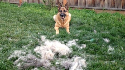 25 dogs that shed the most 100 do all dogs shed their fur best 25 non shedding