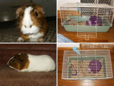 adopt a guinea pig in pa nj ny wv ny craigslist two listings