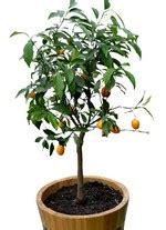 oranger en pot entretien