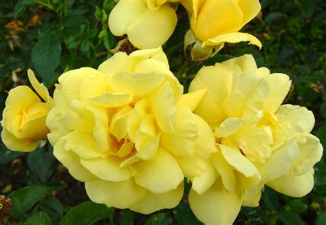 Buy Rose Flower Carpet Sunshine (ground Cover Rose) Rosa 'flower Carpet Sunshine ('noason') (pbr Red Carpet Canton Ohio Best Way Care Type Of Glue For Tiles Temple Tx Spot Cleaner Spray Pet Stains Indoor Outdoor Pool Decks Qual Melhor Carpete Para Quarto Good Quality Bedrooms