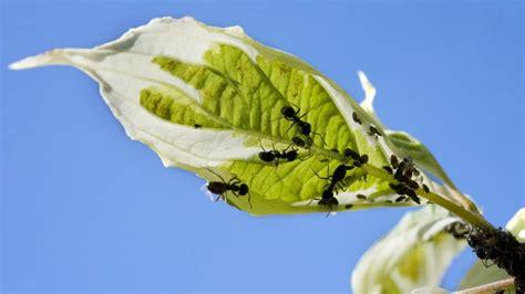 des fourmis quot agricultrices quot existaient bien avant l apparition de l homme moderne selon une 233 tude