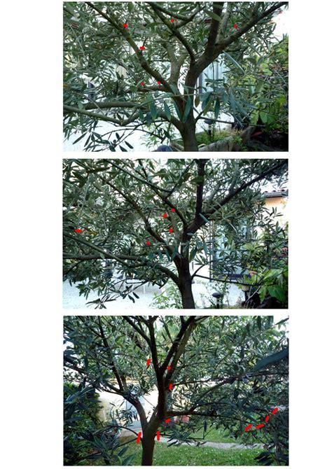 comment tailler un olivier jardinier pro
