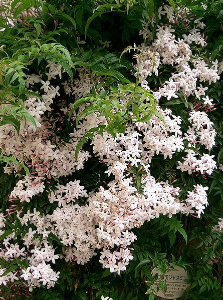 jazm 237 n principales especies de jasmines taringa