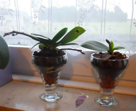 maladie des orchid 233 es phalaenopsis photo de fleur une pensee fleuriste
