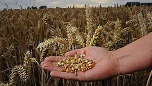 GM wheat scientists ask cereal killers, Take The Flour ...