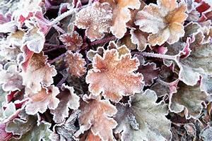 Sind Ranunkeln Winterhart : sind purpurgl ckchen winterhart so berleben sie die k lte ~ Markanthonyermac.com Haus und Dekorationen