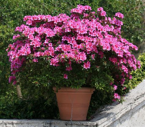 the all inclusive guide to blooming azaleas fast growing trees