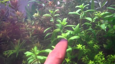 buying aquarium plants amano soil versus dirt in the planted aquarium substrate qtiny