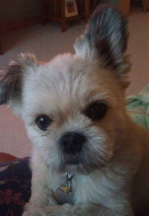1000 images about shi tzu on teddy dogs