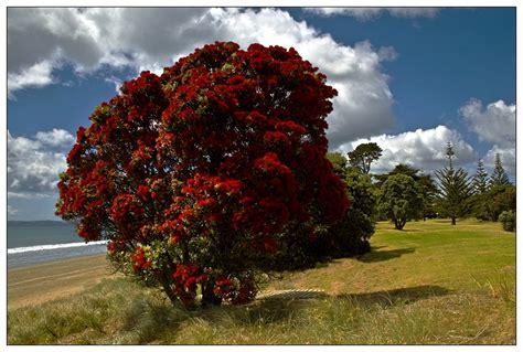 Kiwi Christmas Tree Photo