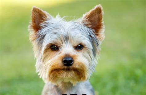 Non Shedding Small Dogs For Adoption by Hypoallergenic Small Dogs For Adoption Breeds Picture
