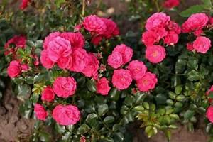 Rosen Kaufen Günstig : g rtnerfreude lancashire toscana und andere rosen kaufen sie g nstig im online shop von rosen ~ Markanthonyermac.com Haus und Dekorationen