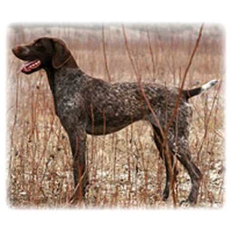range rover pointer breed breeds picture