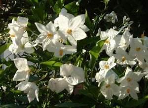 Jasmin Zimmerpflanze Pflege : solanum jasminoides pflege balkon pinterest balkon ~ Markanthonyermac.com Haus und Dekorationen