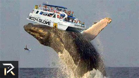What Is The Biggest Boat Show In The World by Biggest Blue Whale Tongue 30 Facts You Won T Believe