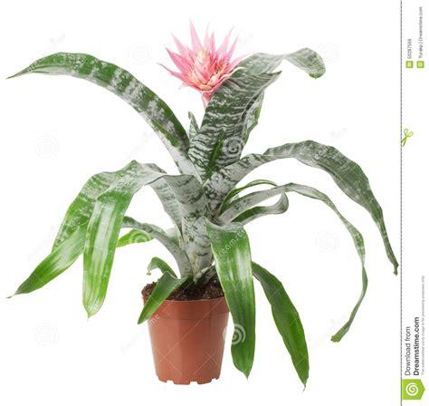 plante d int 233 rieur avec la fleur d isolement sur le fond blanc photo stock image 50287569