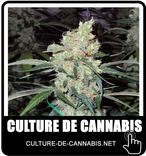 la culture de cannabis