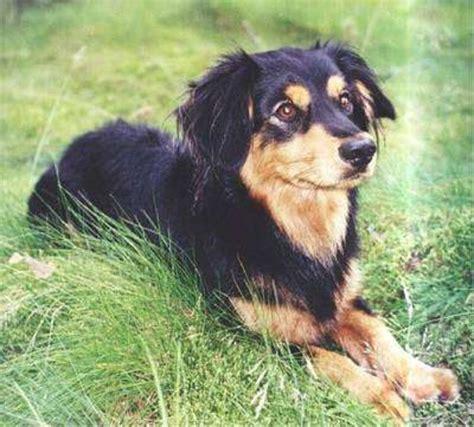 low shedding dogs uk 15 small non shedding dogs uk large breeds