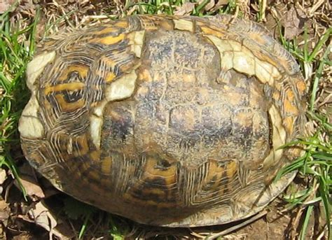 is there anyway a tortoise s shell can be healed when i adopted zeek 9 years ago he has a