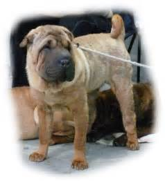 shar peis breeds picture