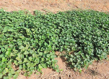 patate douce culture de la patate douce jardinage bio