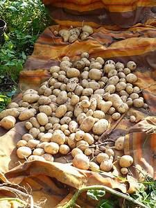 Kartoffeln Und Zwiebeln Lagern : kraut r ben forum kartoffeln im keller lagern ~ Markanthonyermac.com Haus und Dekorationen