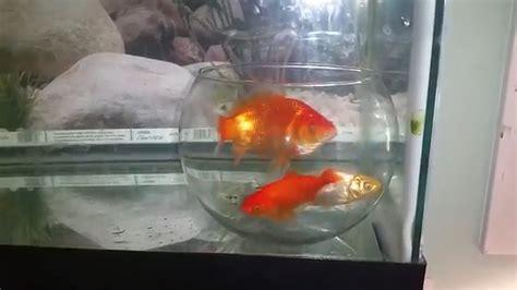 des poissons coinc 233 s dans un bocal dans un aquarium