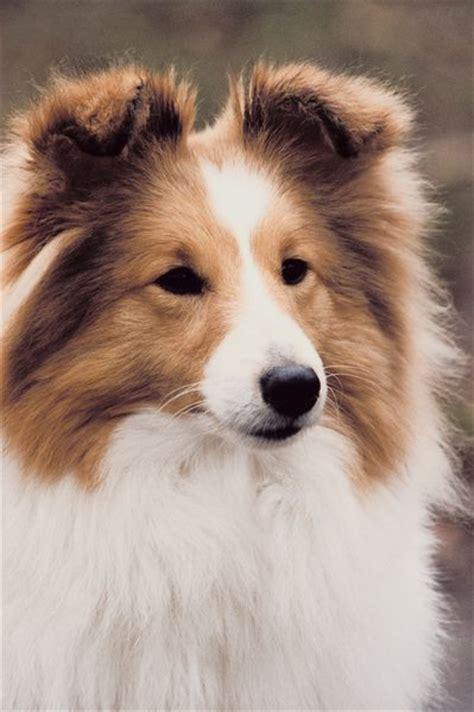 seborrheic skin disorders in shetland sheepdogs pets