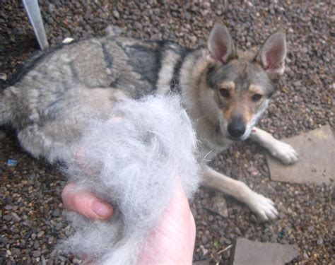 3 simple steps to your german shepherds shedding