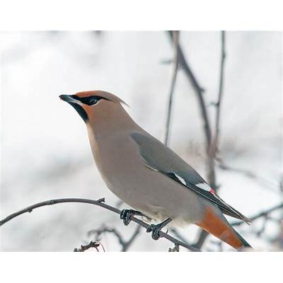 Me Boomer and The Vermilon River: Bohemian Waxwings of