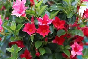 Pflegeleichte Zimmerpflanzen Mit Blüten : bl hende zimmerpflanzen pflegeleichte dauerbl her von a z ~ Markanthonyermac.com Haus und Dekorationen