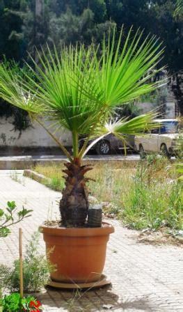 le palmier licuala