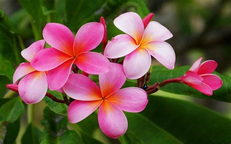 Plumeria Hawaiian Flowers Flowers With Reddish Pink And
