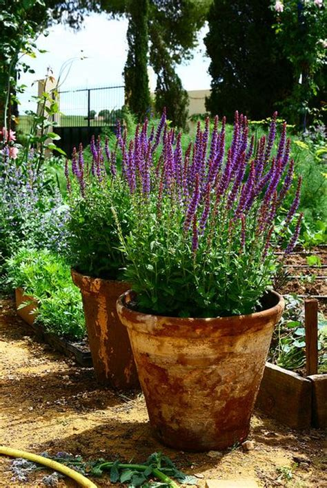 potted lavender landscaping and gardening gardens container gardening and clay pots