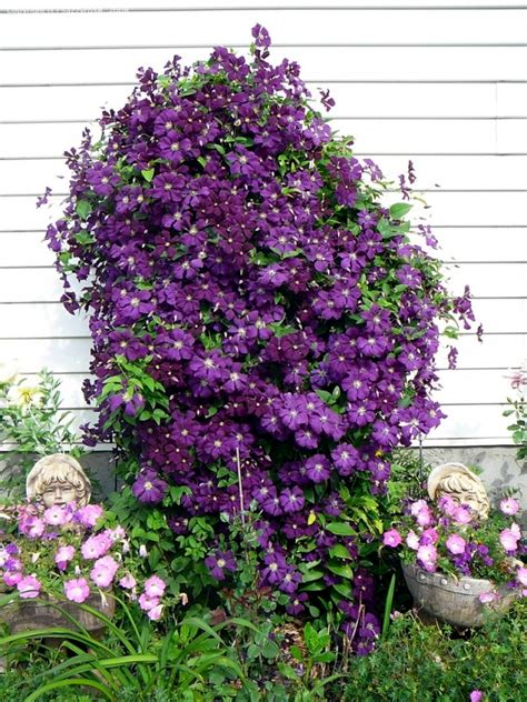 tips for planting care and cutting clematis climbing plants front house on