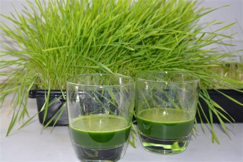comment faire pousser de l herbe de bl 233 en 5 233 simples vitaality jus de fruits frais