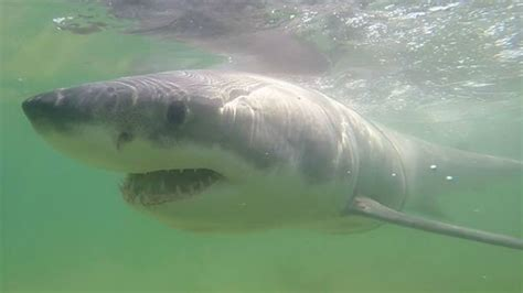 Rescued Great White Shark Returns To Cape Cod Waters Cbs