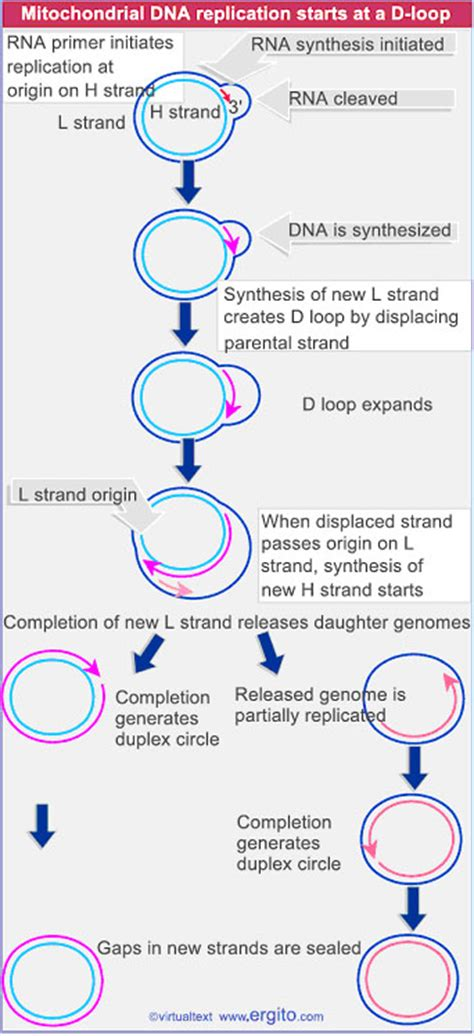 The Leading Strand Template Forms A Priming Loop by Replication In Prokaryotes