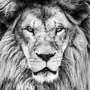 Tierbilder Schwarz Weiß : king lion black and white poster posterlounge ~ Markanthonyermac.com Haus und Dekorationen