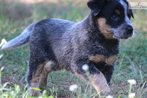 Stop Blue Heeler Shedding by Grooming A Heeler Breeds Picture