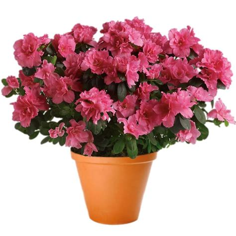 pink azalea pot plant delivered to you by clare florist