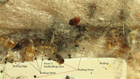 are bed bugs contagious bed bug eggs in carpet bangdodo