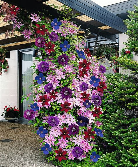 Colorful Clematis Climbing Plants  Diy Cozy Home