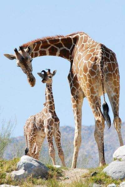 25+ Best Ideas About Baby Giraffe Pictures On Pinterest  Giraffe Pictures, Baby Giraffes And