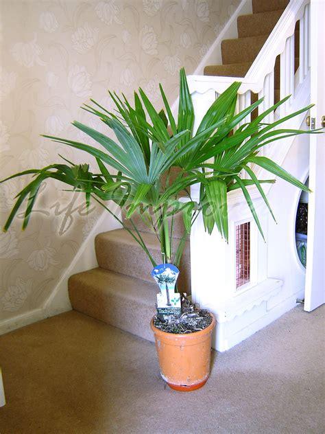 1 palmier en pot int 233 rieur plante jardin tropical repose pieds ventilateur palm windmill palm ebay