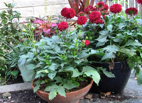 dahlia dos and don ts minnesota gardener magazine enewsletter