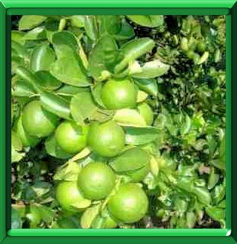 citronnier vert ou citrus aurantifolia fiche technique compl 232 te